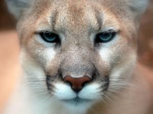 Cougar_closeup